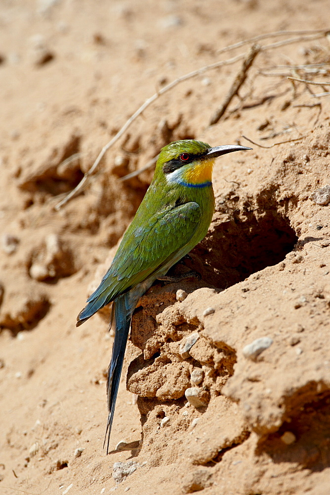 Swallow-tailed bee-eater (Merops hirundineus) at its nest opening, Kgalagadi Transfrontier Park, encompassing the former Kalahari Gemsbok National Park, South Africa, Africa