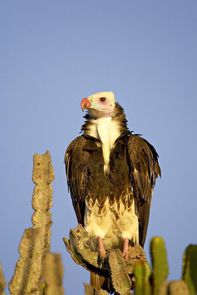 White-headed vulture (Trigonoceps occipitalis), Masai Mara National Reserve, Kenya, East Africa, Africa