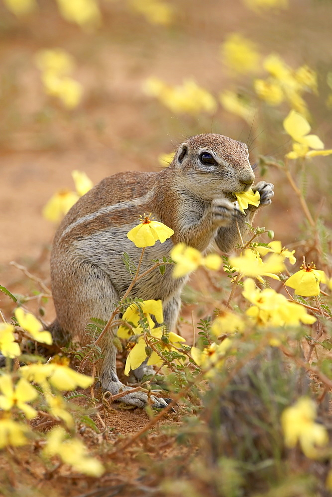 Cape ground squirrel (Xerus inauris) eating yellow wildflowers, Kgalagadi Transfrontier Park, encompassing the former Kalahari Gemsbok National Park, South Africa, Africa - 764-1209