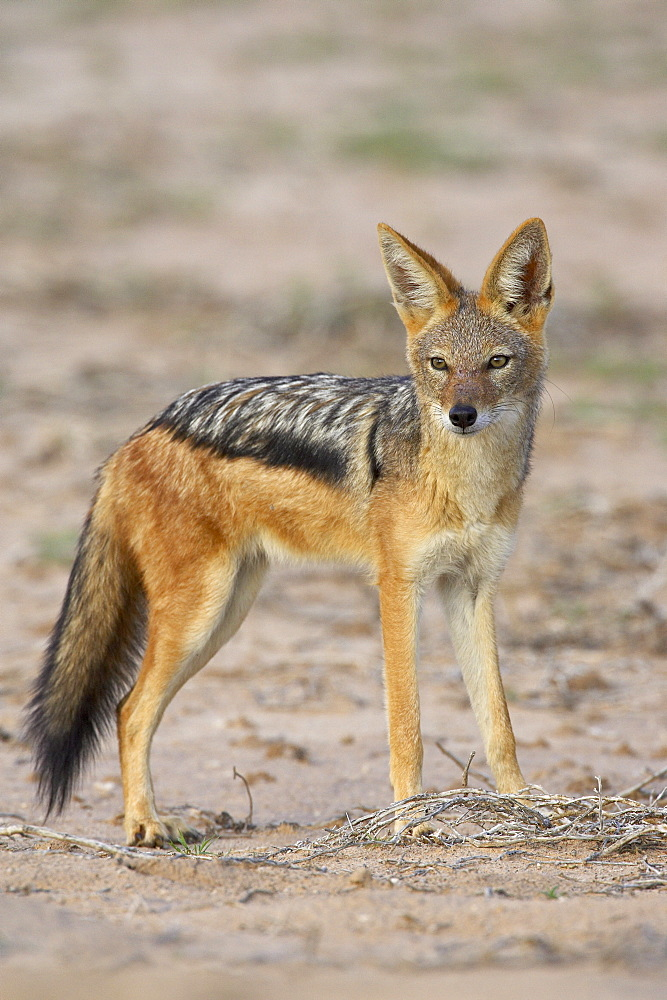 Black-backed jackal (silver-backed jackal) (Canis mesomelas), Kgalagadi Transfrontier Park, encompasing the former Kalahari Gemsbok National Park, South Africa, Africa
