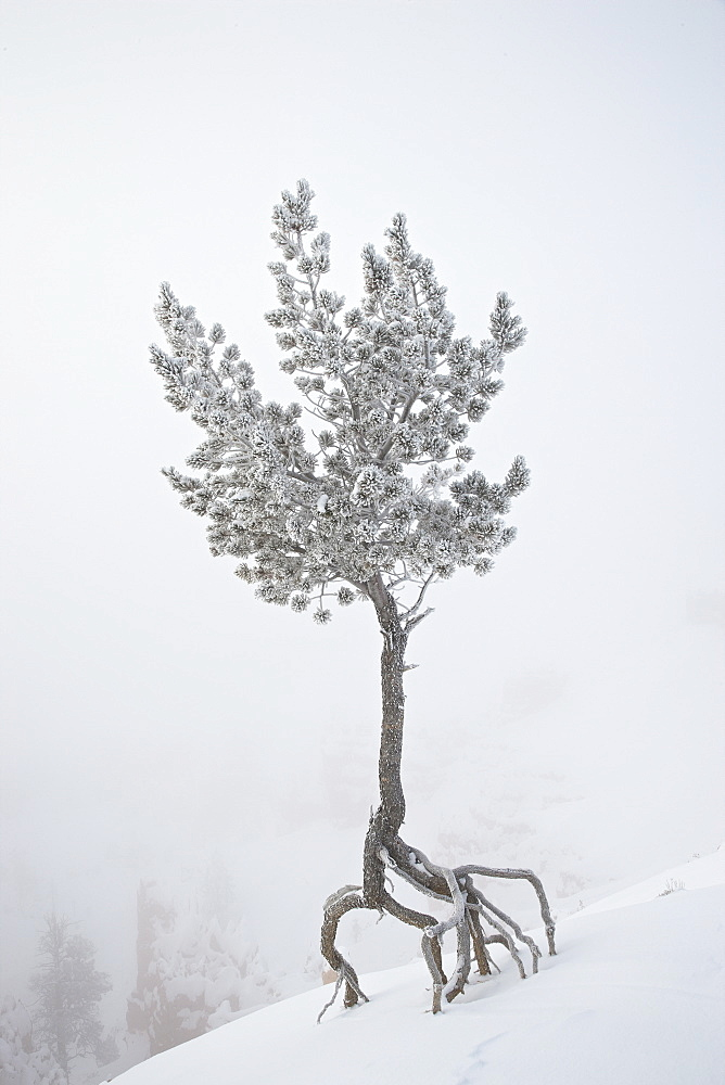 Lone pine tree at Sunrise Point covered with hoar frost on a foggy morning, Bryce Canyon National Park, Utah, United States of America, North America - 764-1267