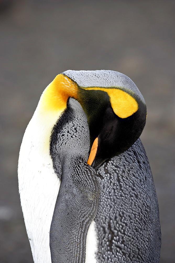 King penguin (Aptenodytes patagonica) sleeping, Salisbury Plain, South Georgia, Polar Regions