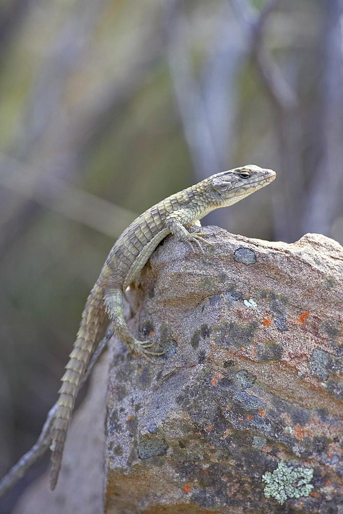 Karoo girdled lizard (Cordylus polyzonus), Mountain Zebra National Park, South Africa, Africa