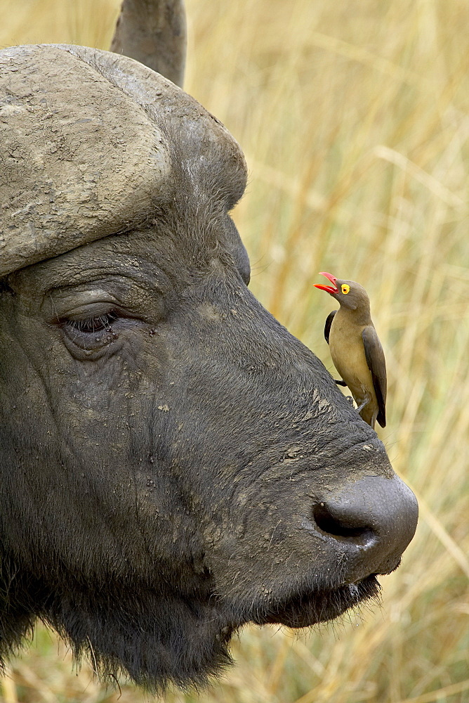Red-billed oxpecker (Buphagus erythrorhynchus) and Cape buffalo (African buffalo) (Syncerus caffer), Hluhluwe Game Reserve, South Africa, Africa