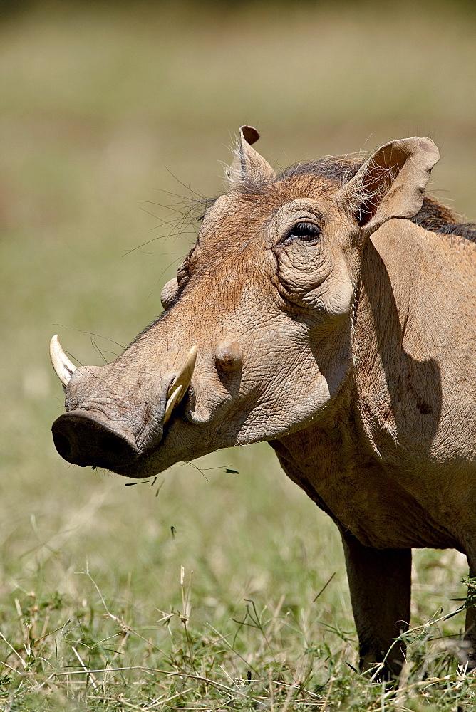 Warthog (Phacochoerus aethiopicus), Samburu National Reserve, Kenya, East Africa, Africa