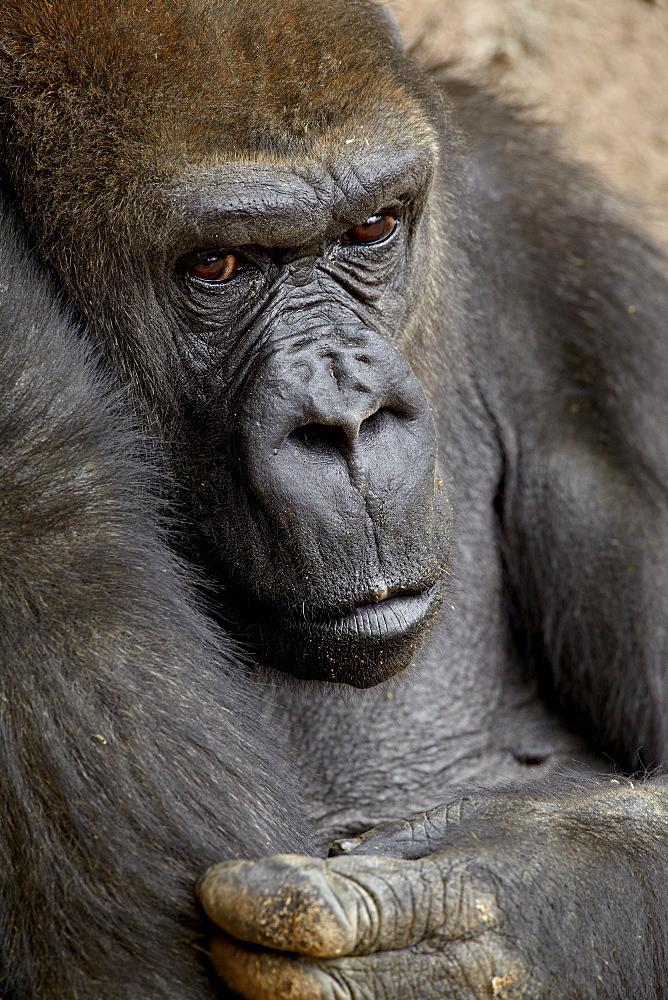 Female Western lowland gorilla (Gorilla gorilla gorilla) in captivity, Rio Grande Zoo, Albuquerque Biological Park, Albuquerque, New Mexico, United States of America, North America