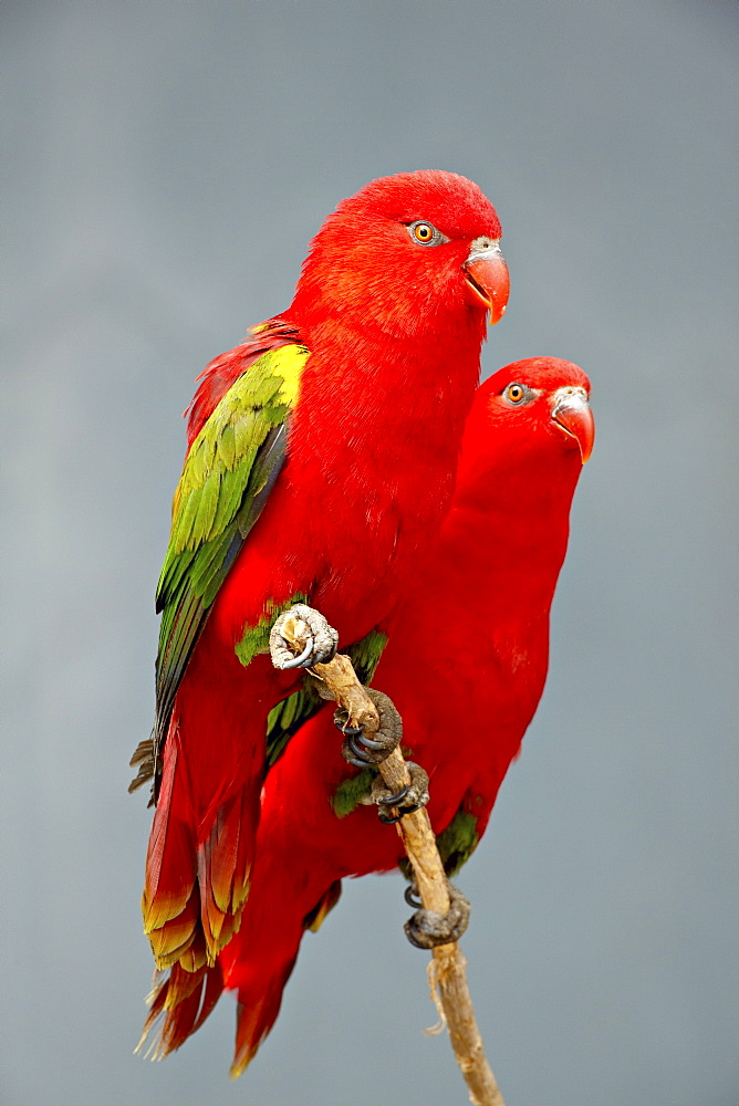 Two chattering lory (Lorius garrulus) in captivity, Rio Grande Zoo, Albuquerque Biological Park, Albuquerque, New Mexico, United States of America, North America