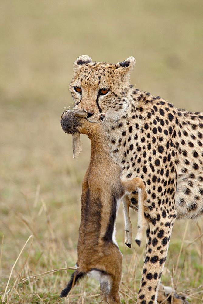 Cheetah (Acinonyx jubatus) with baby Thomsons Gazelle (Gazella thomsonii), Masai Mara National Reserve, Kenya, East Africa, Africa