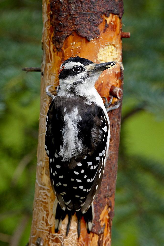 Hairy woodpecker (Picoides villosus) on a magic log, Wasilla, Alaska, United States of America, North America