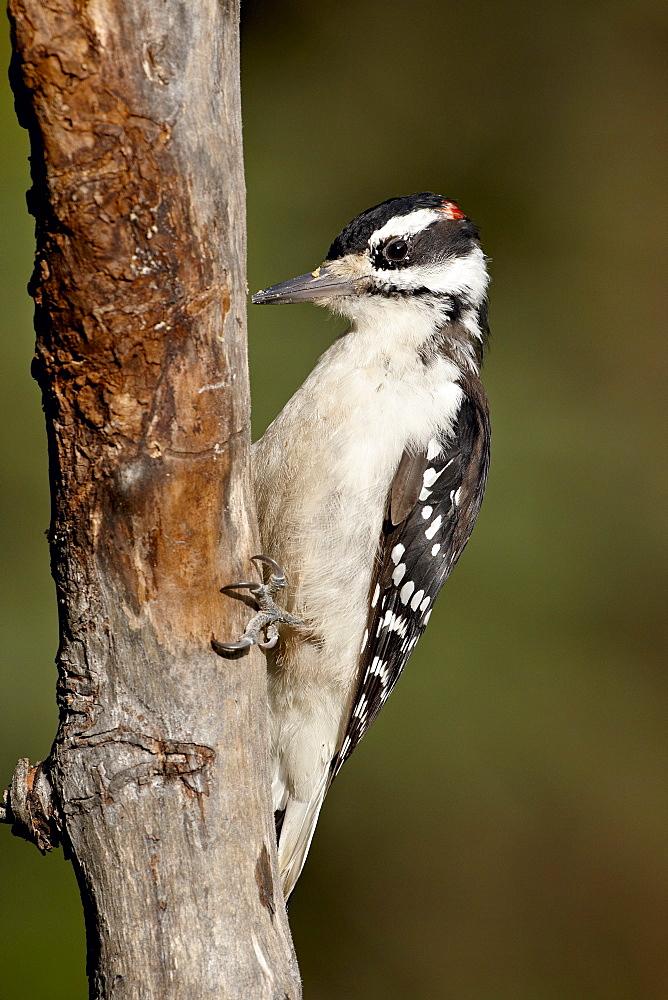 Male hairy woodpecker (Picoides villosus), Wasilla, Alaska, United States of America, North America