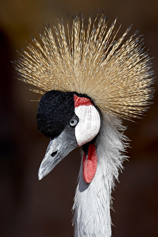 Grey Crowned Crane (Southern Crowned Cran) (Balearica regulorum) in captivity, Denver Zoo, Denver, Colorado, United States of America, North America
