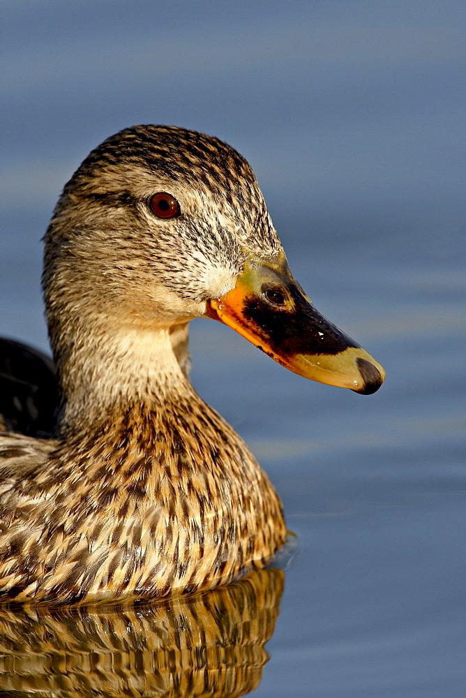 Female Mallard (Anas platyrhynchos) swimming, Sterne Park, Littleton, Colorado, United States of America, North America