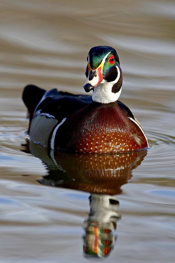 Wood Duck (Aix sponsa) drake swimming, Sterne Park, Littleton, Colorado, United States of America, North America