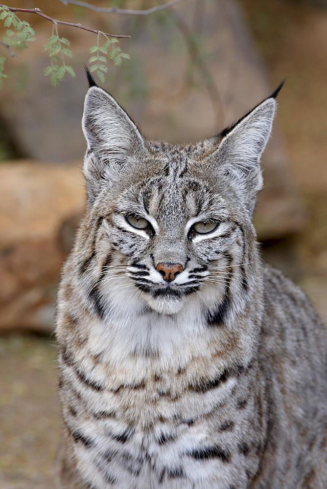 Bobcat (Lynx rufus) in captivity, Arizona Sonora Desert Museum, Tucson, Arizona, United States of America, North America