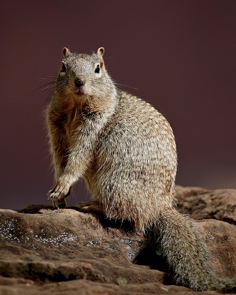 Rock Squirrel (Spermophilus variegatus), Zion National Park, Utah, United States of America, North America
