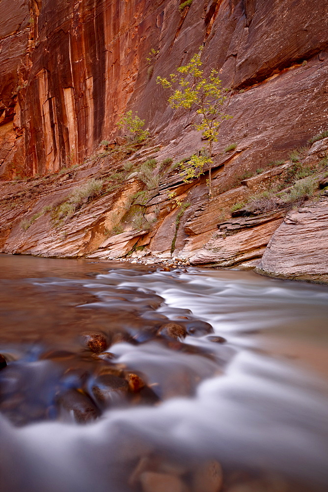 Cascade and tree in the fall, The Narrows of the Virgin River, Zion National Park, Utah, United States of America, North America