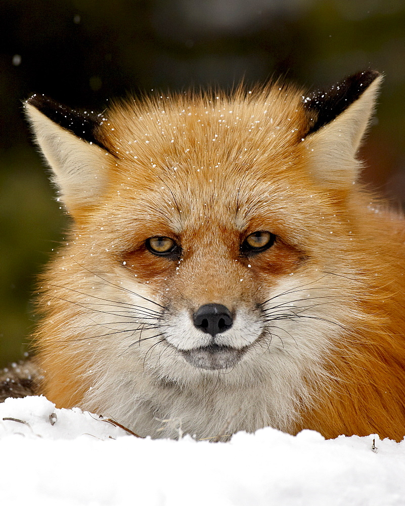 Captive red fox (Vulpes vulpes) in the snow, near Bozeman, Montana, United States of America, North America - 764-2396