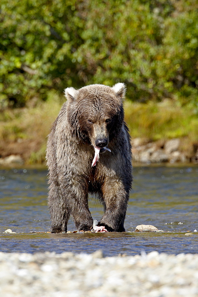 Grizzly bear (Ursus arctos horribilis) (Coastal brown bear) eating a salmon, Katmai National Park and Preserve, Alaska, United States of America, North America