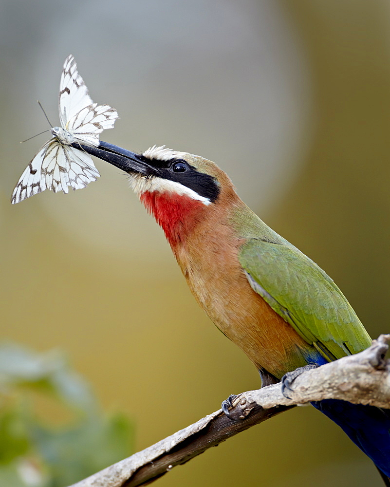 White-fronted bee-eater (Merops bullockoides) with a butterfly, Kruger National Park, South Africa, Africa