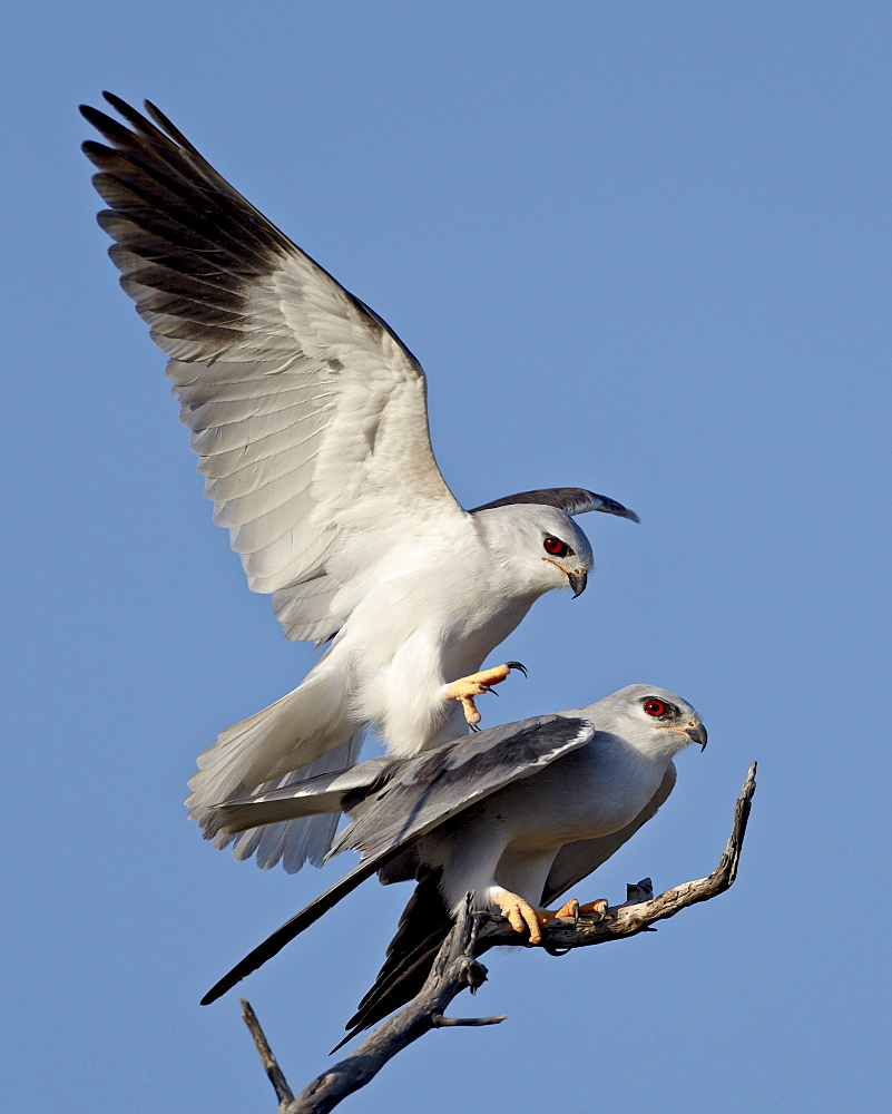 Black-shouldered kite (Elanus caeruleus) pair mating, Kgalagadi Transfrontier Park, encompassing the former Kalahari Gemsbok National Park, South Africa, Africa