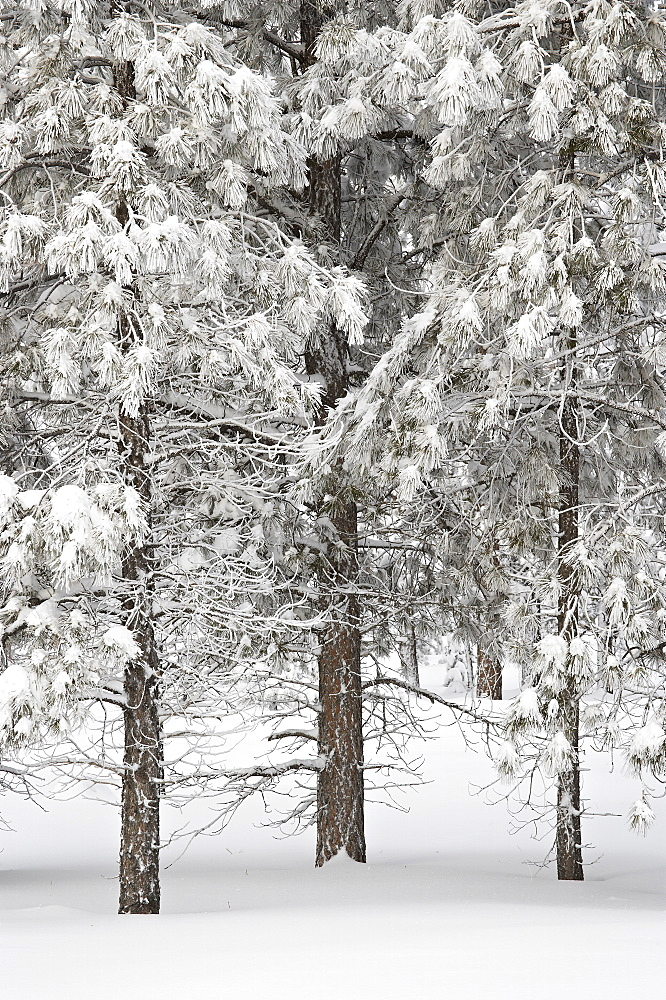 Snow-covered pine trees, Bryce Canyon National Park, Utah, United States of America, North America