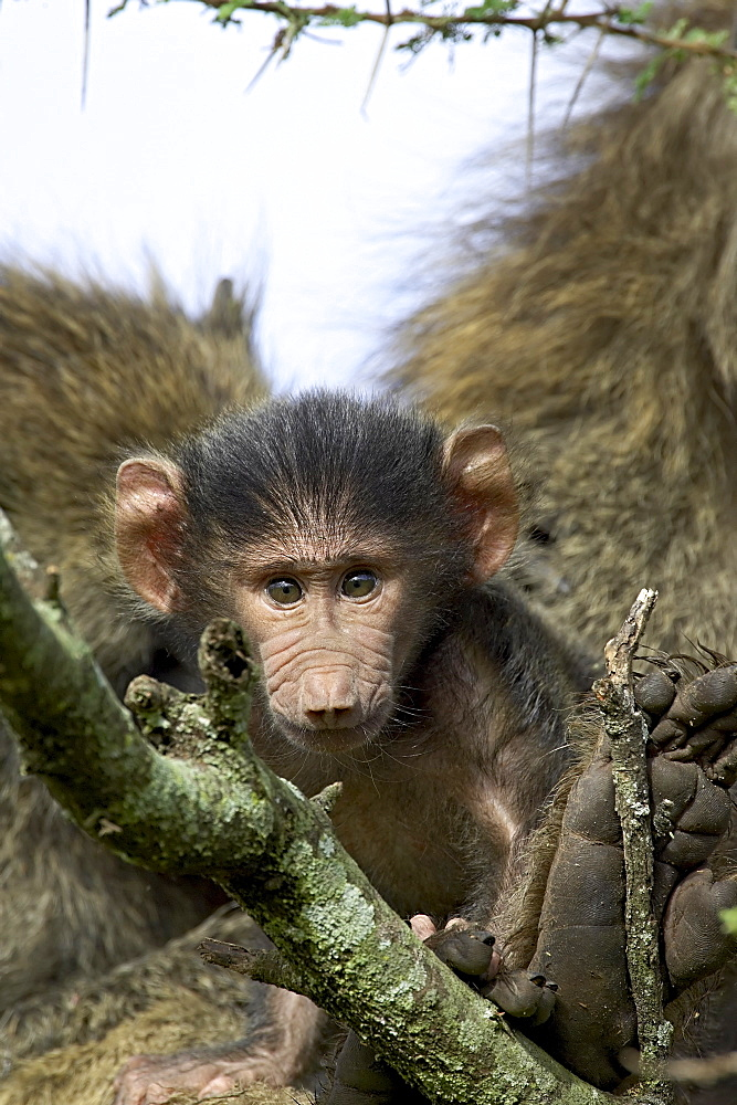 Infant olive baboon (Papio cynocephalus anubis) sitting in its mother's lap and looking at the camera, Serengeti National Park, Tanzania, East Africa, Africa