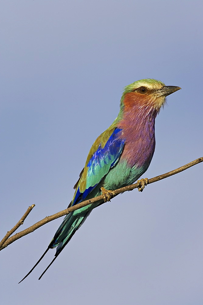 Lilac-breasted roller (Coracias caudata), Greater Limpopo Transfrontier Park, encompassing the former Kruger National Park, South Africa, Africa