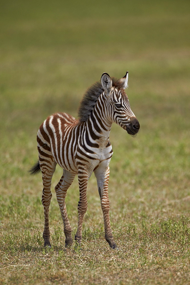 Common zebra (plains zebra) (Burchell's zebra) (Equus burchelli) colt, Ngorongoro Crater, Tanzania, East Africa, Africa