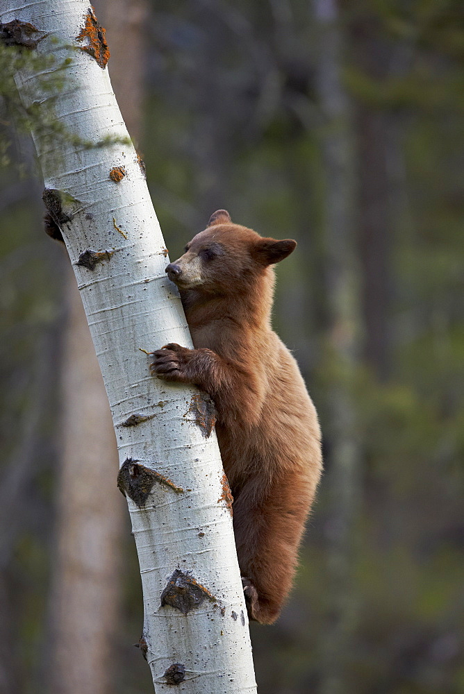 Cinnamon black bear (Ursus americanus) yearling cub climbing a tree, Yellowstone National Park, Wyoming, United States of America, North America