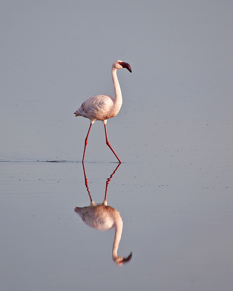 Lesser flamingo (Phoeniconaias minor), Serengeti National Park, Tanzania, East Africa, Africa