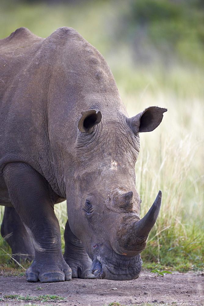 White rhinoceros (Ceratotherium simum), Hluhluwe Game Reserve, South Africa, Africa