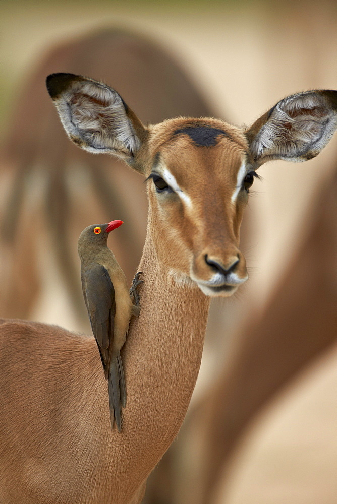 Red-billed oxpecker (Buphagus erythrorhynchus) on a female impala (Aepyceros melampus), Kruger National Park, South Africa, Africa
