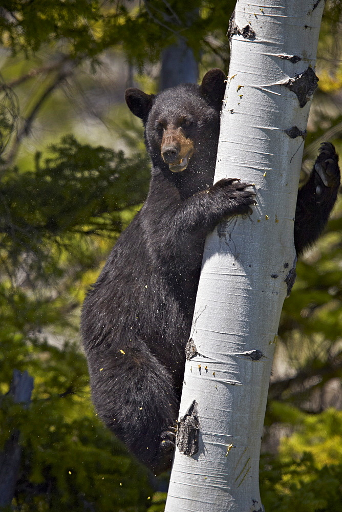 Black Bear (Ursus americanus) sow climbing a tree, Yellowstone National Park, Wyoming, United States of  America, North America