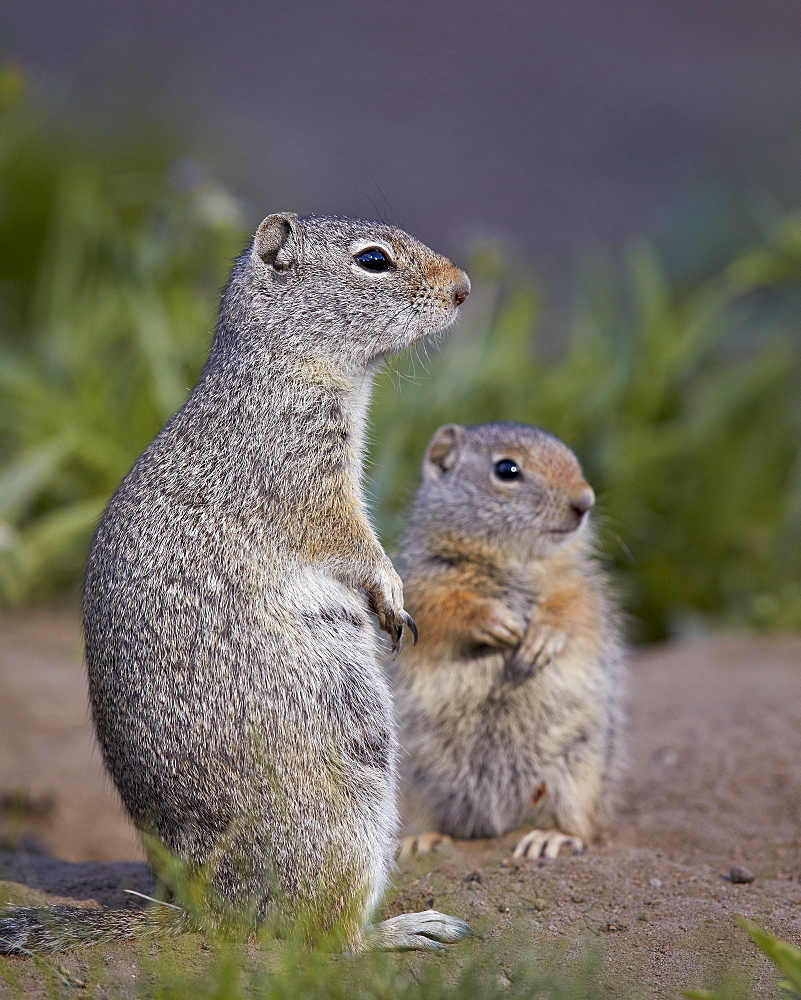 Uinta Ground Squirrel (Urocitellus armatus) adult and young, Yellowstone National Park, Wyoming, United States of  America, North America