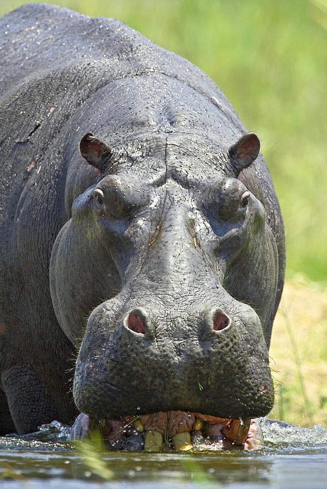 Hippopotamus (Hippopotamus amphibius) entering the water, Greater Limpopo Transfrontier Park, encompassing the former Kruger National Park, South Africa, Africa - 764-454