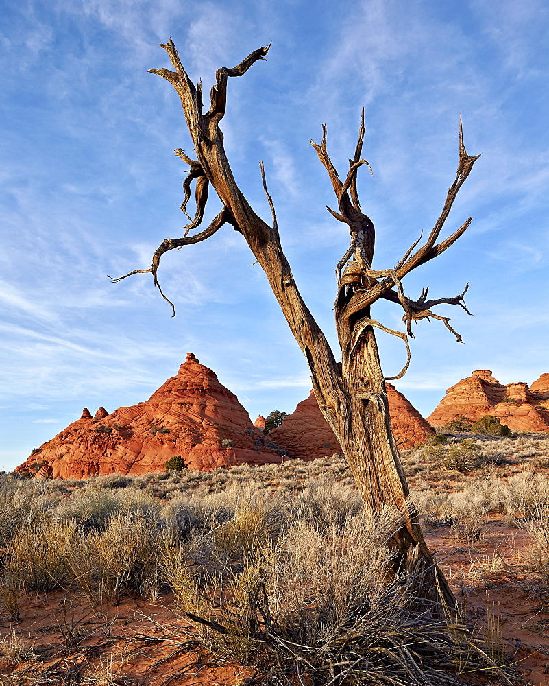 Dead juniper trunk and sandstone cones, Coyote Buttes Wilderness, Vermilion Cliffs National Monument, Arizona, United States of America, North America