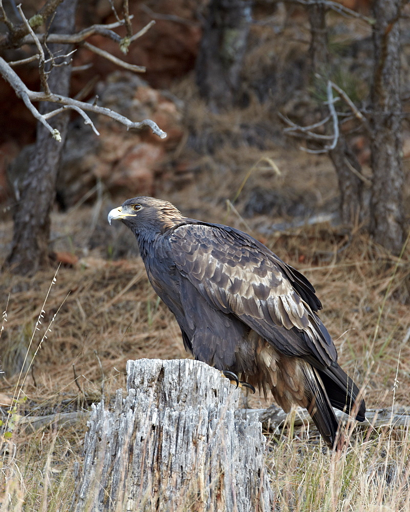 Golden eagle (Aquila chrysaetos), Custer State Park, South Dakota, United States of America, North America