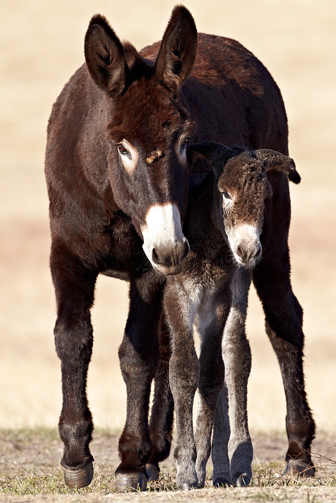 Wild Burro (donkey) (Equus asinus (Equus africanus asinus) jenny and foal, Custer State Park, South Dakota, United States of America, North America
