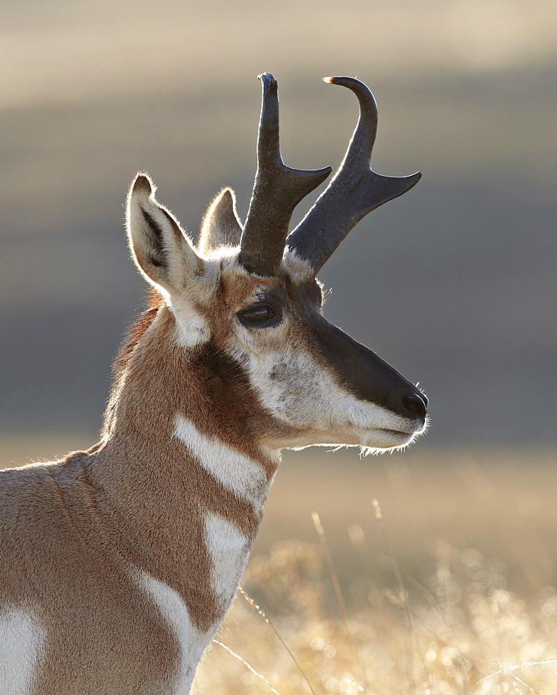 Pronghorn (Antilocapra americana) buck, Custer State Park, South Dakota, United States of America, North America