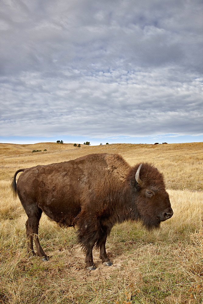 Bison (Bison bison) cow, Custer State Park, South Dakota, United States of America, North America