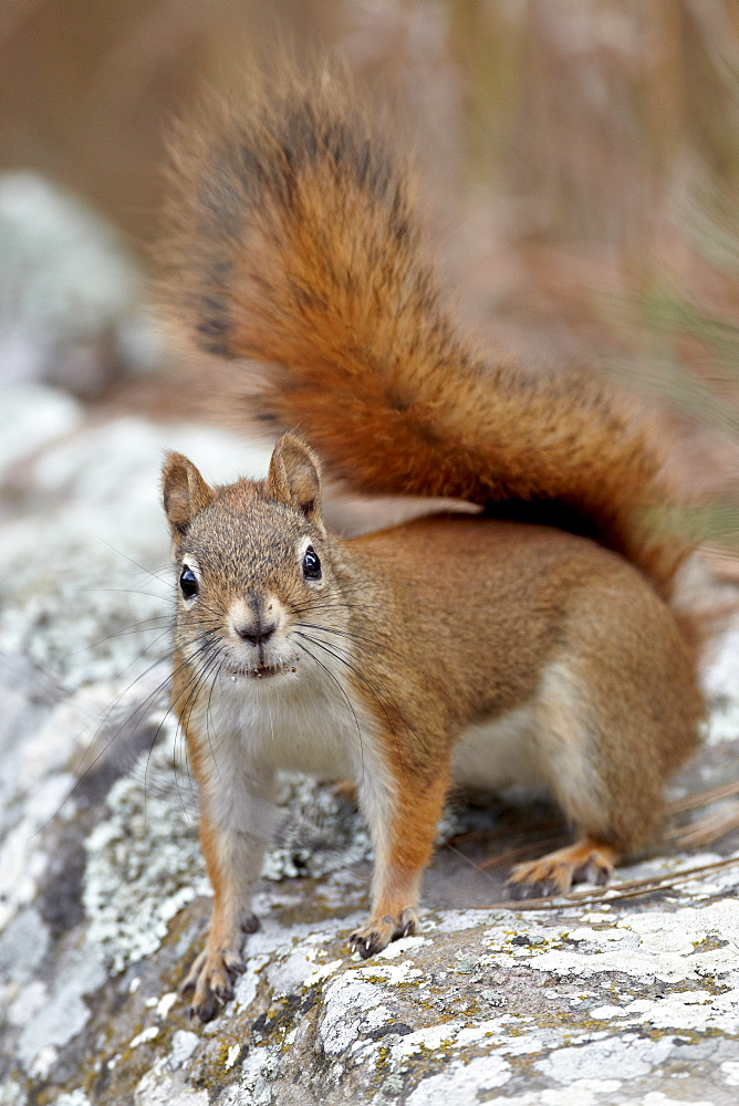American red squirrel (red squirrel) (Spruce squirrel) (Tamiasciurus hudsonicus), Custer State Park, South Dakota, United States of America, North America
