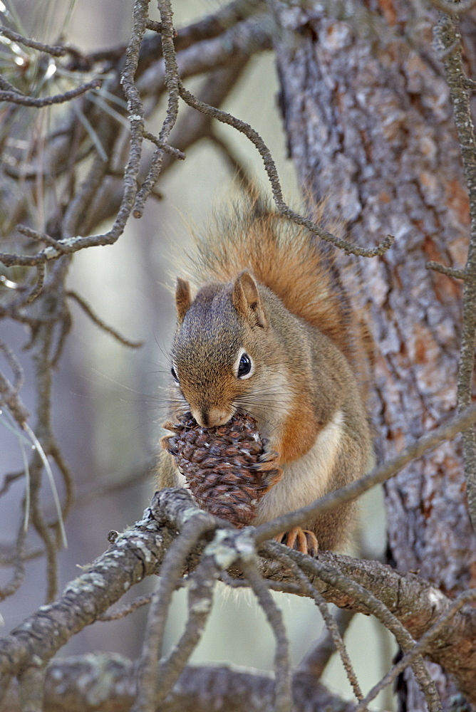 American red squirrel (red squirrel) (spruce squirrel) (Tamiasciurus hudsonicus) with a pine cone, Custer State Park, South Dakota, United States of America, North America