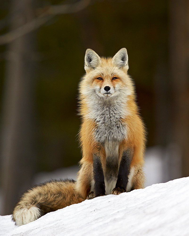 Red Fox (Vulpes vulpes) (Vulpes fulva) in the snow, Grand Teton National Park, Wyoming, United States of America, North America