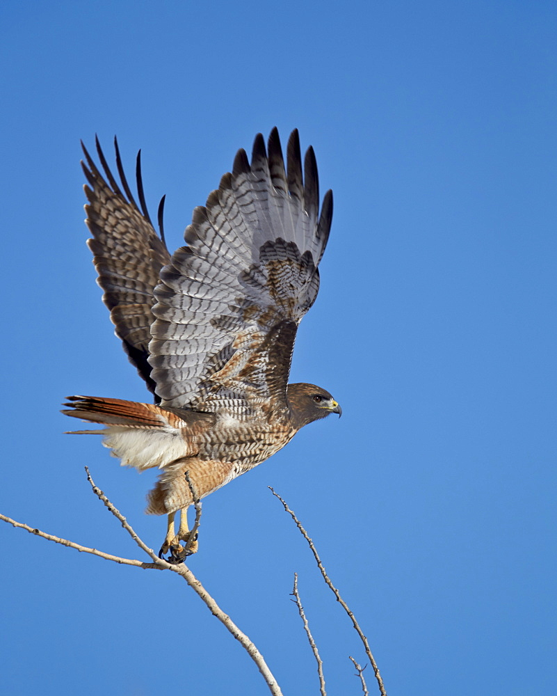 Red-tailed hawk (Buteo jamaicensis) taking off, Bosque del Apache National Wildlife Refuge, New Mexico, United States of America, North America