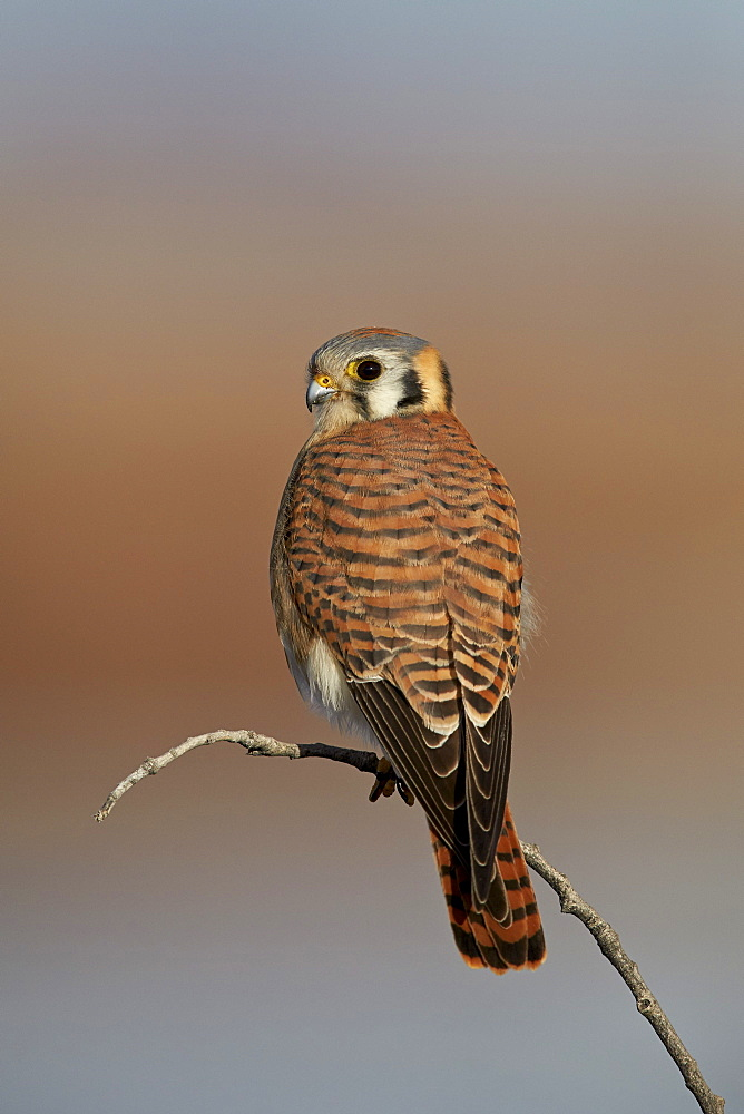 American kestrel (sparrow hawk) (Falco sparverius) female, Bosque del Apache National Wildlife Refuge, New Mexico, United States of America, North America
