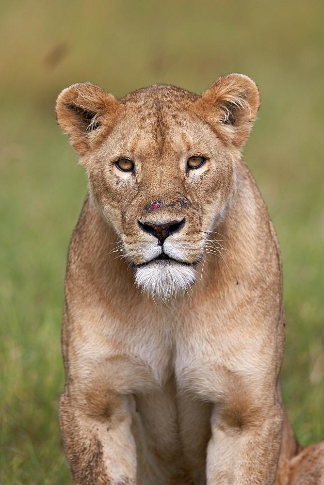 Lion (Panthera Leo) female (lioness), Ngorongoro Crater, Tanzania, East Africa, Africa