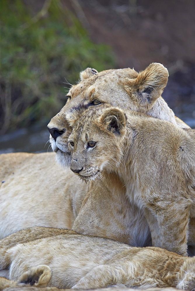 Lion (Panthera leo) female and cub, Ngorongoro Crater, Tanzania, East Africa, Africa