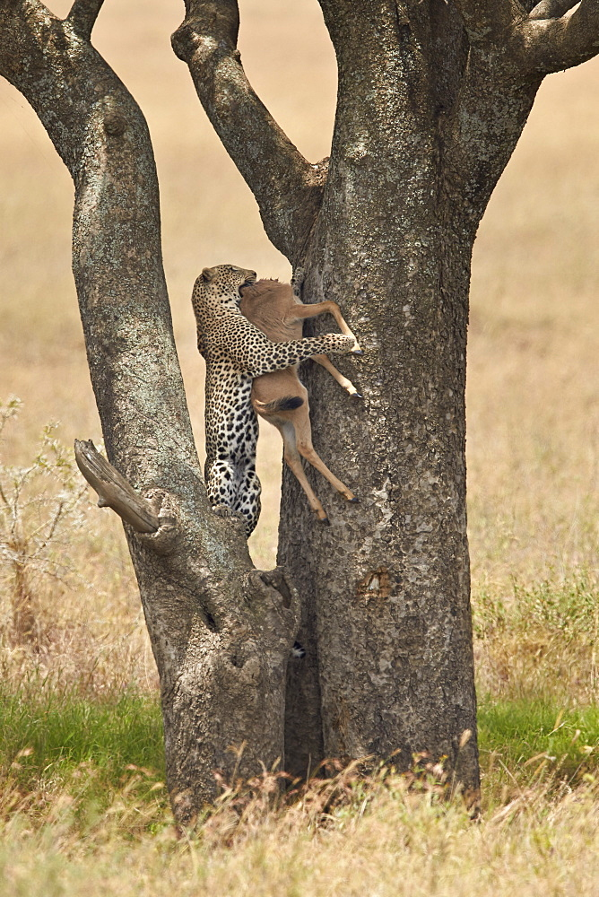 Leopard (Panthera pardus) carrying a days-old blue wildebeest (brindled gnu) (Connochaetes taurinus) calf up a tree, Serengeti National Park, Tanzania, East Africa, Africa