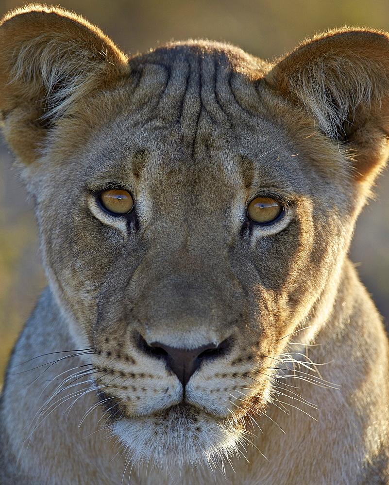 Lioness (Panthera leo), Kgalagadi Transfrontier Park, encompassing the former Kalahari Gemsbok National Park, South Africa, Africa