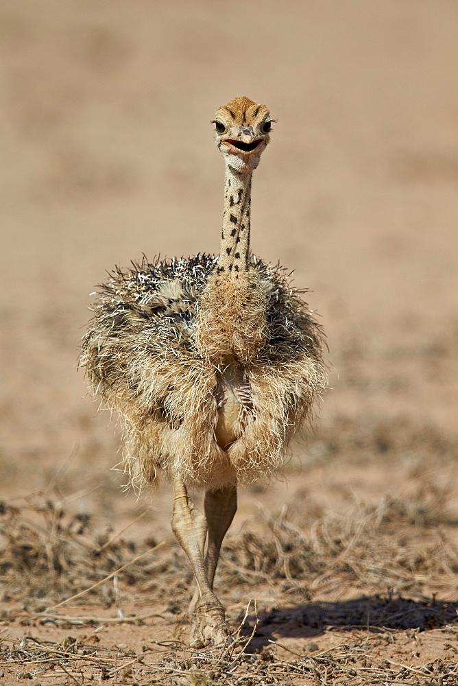 Common ostrich (Struthio camelus) chick, Kgalagadi Transfrontier Park, encompassing the former Kalahari Gemsbok National Park, South Africa, Africa